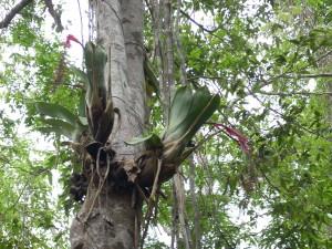 Bromélia epífita (Aechmea sp.)
