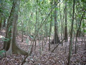 Sub-bosque de Floresta Aluvial