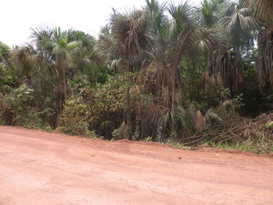 Rodovia PA-252 evidenciando a ocorrência de buritis em áreas alagadas nas margens da rodovia.