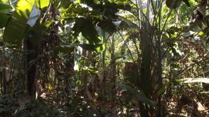 Exemplares de Musaceae no sub-bosque das Formações Secundárias